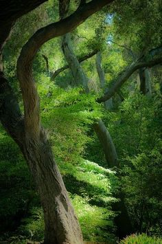 Deep in the forest, beautiful, tall muscular trees with their thick green leafy branches spread out making a canopy throughout the forest!
