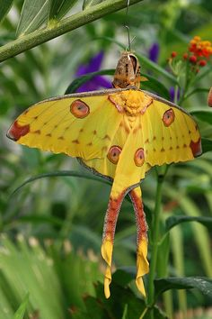 Moon Moth ttps://www.google.ca/search?q=moon+moths+facts&tbm=isch&tbo=u&source=univ&sa=X&ei=PhcxUqnWL7Ta2wXNr4HABg&ved=0CDcQsAQ&biw=1584&bih=761&dpr=1
