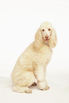 Sweet Standard Poodle - How BEAUTIFUL!!!  Just ONE look!!!!  Pretty Girl!!!