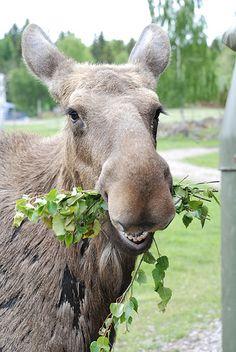 Mrs. Moose | Virum Moose park | Yvonne Eijkenduijn | Flickr