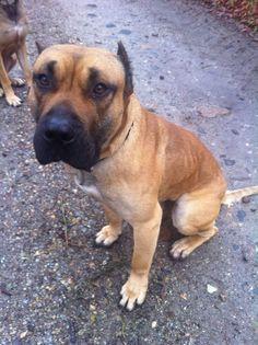 Pablo, #DogoCanario, 2 Jahre, verträglich