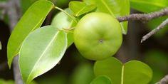 ¡Cuidado! Ni se te ocurra comer su fruto o pararte debajo de éste árbol cuando llueva, es realmente tóxico…