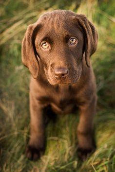 chocolate lab puppy.....awwwwwwwwwwwwwwwww!