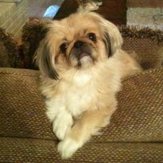 Looks very similar to my Minnie! Animals And Pets, Baby Animals, Cute Animals, Fu Dog, Dog Cat, Cute Puppies, Dogs And Puppies, Tiny Monkey, Pekingese Puppies