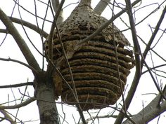 Ants' Nest in a TREE?... Yes this spherical architectural marvel belongs to the worlds largest army...ants.