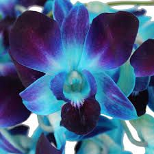 """Résultat de recherche d'images pour """"blue violet orchid"""""""