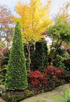 Autumn gold  of acer senkaki