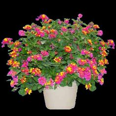 The flower heads of the 'Carolina Sparkler' Lantana Plant first appear as cheeky, deeply blushing pink, but have a surprise in store as they develop bright, sparkling yellow accents throughout. This particular Lantana truly shines with a light all its own and is nicely salt tolerant. Each 3-inch pot contains one Carolina Sparkler Lantana plant.