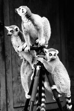 Lemur perched on tripod