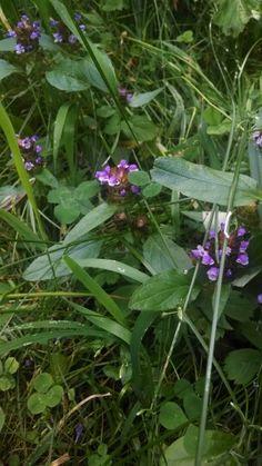 Self Heal - prunella vulgaris