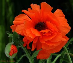 Poppy, #macro, #floral