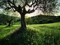 The Olive Oil we trade is of the Koroneiki variety harvested at Messinia province, in Greece, a fruitful and productive region where the sounds of the sea and of the olive tree leaves are mixed harmonically along with the other nature's gifts. The local eco-system provides natural food for the trees!