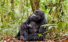 Africa | Mother nursing her little one. Mountain gorilla(s), Rwanda | © Art Wolfe