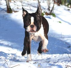 3 Years Old Boston Terrier Having Fun Running in the Snow! - This is Lucca from Denmark ► http://www.bterrier.com/?p=28562 - https://www.facebook.com/bterrierdogs