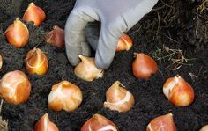 Planting Bulbs and other fall plants Daffodil Bulbs, Tulip Bulbs, Bulb Flowers, When To Plant Tulips, Planting Tulips, Summer Bulbs, Spring Bulbs, Organic Compost, Organic Gardening Tips