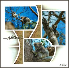Koalas_05
