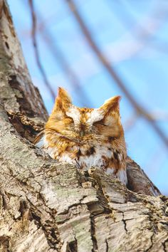 """lmmortalgod: """"Red Morph Screech Owl by Brian Carr """" Owl Photos, Owl Pictures, Owl Bird, Pet Birds, Animals And Pets, Cute Animals, Owl Species, Forest And Wildlife, Screech Owl"""