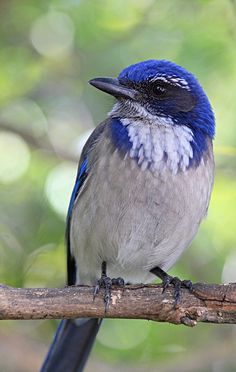 Western Scrub Jay  (Aphelocoma californica), is a species of scrub jay native to western North America. It ranges from southern Washington to central Texas . |   by gatorlink