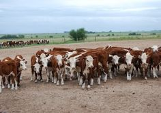 Ganadería  vacuna, en Argentina Wagyu Kobe Beef, Hereford Cattle, Livestock, Cows, Animals, Farms, Argentina, Cattle, People