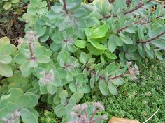 The burgundy stems and blue-green foliage onthis herbaceousstonecrop are striking from spring through fall. Description from perennialgardener.wordpress.com. I searched for this on bing.com/images