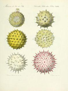 Pollen from 'Ueber den Pollen' by Julius Fritzsche Published 1837