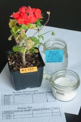 Water the Plants! Add Sugar? Would Adding Sugar to the Water Increase the Growth of Plants? | Education.com
