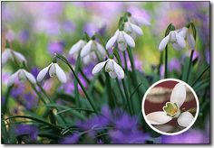 Snowdrops Bulbs, Galanthus Flower Bulbs, Snowdrops Flowers