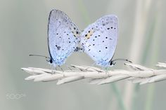 Short-tailed Blue - Pair of Short-tailed Blue (Cupido argiades) in love