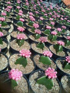 Kaktus mini head pink