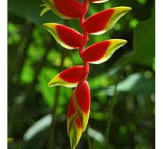 Heliconia Waghneria250