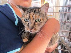 Available for adoption - Gabby is a female cat, Domestic Short Hair, located at Santa Paula Animal Rescue Center in Santa Paula, CA.