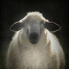 Sheep by Monika Strigel Farm Animals, Animals And Pets, Cute Animals, Sheep Paintings, Animal Paintings, Sheep Art, Sheep Wool, Portrait Art, Pet Portraits