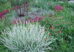 Двукисточник тростниковый, или фалярис (Reed canary grass)