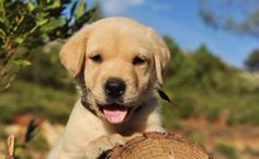 Labrador Retriever puppy training resources