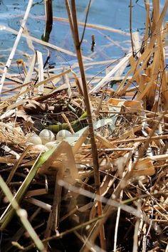 moorhen eggs in nest