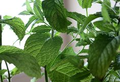 Fresh Mint up close and personal!
