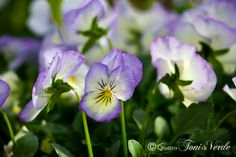 Quattro toni di verde: Viola del Pensiero - tante faccine in un vaso