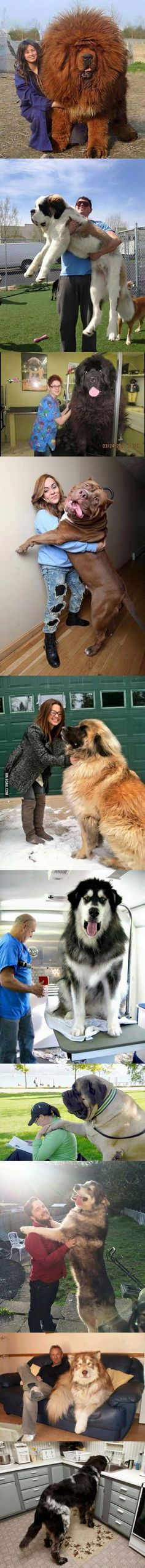These are the biggest dogs in the world - Tiere - Perros Cute Funny Animals, Funny Animal Pictures, Cute Baby Animals, Dog Pictures, Funny Dogs, Animals And Pets, Funny Fails, Huge Dogs, Giant Dogs