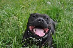 Smiling Staffy