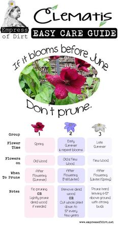 Every year Lanthier Winery master gardeners are asked when to prune Clematis The answer: If it blooms in June please dont prune! Clematis pruning tips and lots more in this Clematis Easy Care Guide! Planting Flowers, Plants, Lawn And Garden, Outdoor Gardens, Rose Of Sharon, Garden Vines, Clematis, Gardening Tips, Garden Care