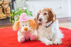 Sandy, our welsh springer spaniel