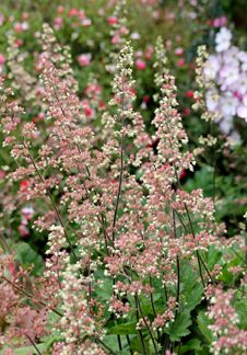 "Heuchera maxima ""Alum Root""- I have one of these, hasn't flowered yet but seems quite happy despite ongoing drought and of course full shade. Pink Garden, Shade Garden, Garden Plants, California Native Plants, California Garden, Drought Resistant Plants, Heuchera, Small Trees, Sun Shade"