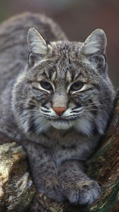 The fisher, also known as the 'fisher cat', is a large, dark, long