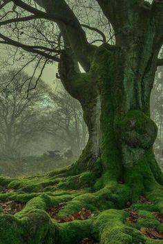 Beautiful ancient tree by De Broncéliande à Avalon #wicca