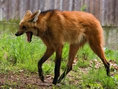 One of the two beautiful female maned wolf sisters from the Beardsley Zoo in Bridgeport, CT. Maned Wolf Stock 5 by HOTNStock Cute Animal Drawings, Animal Sketches, Cute Baby Animals, Funny Animals, Animals Sea, Maned Wolf, Gato Grande, Animal Activities, Cute Animal Videos
