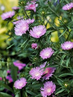 Stokes' Aster  Grow this tough perennial for its long season of bloom and easy-growing habit. The blue or lavender flowers appear continuously through summer and into fall. Top selections to watch for include 'Blue Danube', 'Peachie's Pick', and 'Mary Gregory'. Name: Stokesia laevis Growing Conditions: Full sun and moist, well-drained soil Size: To 3 feet tall Zones: 5-10