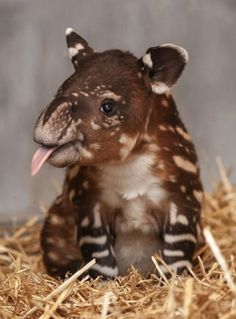 A little sepia watermelon baby tapir. (scaled)