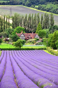 """thequeensenglish: """" Near the pretty village of Shoreham in North Kent, lies the family run Castle Farm- Lavender farm. Home of the UK's largest Lavender farms. In the summer months, the fields burst. Lavender Cottage, Lavender Fields, Lavender Flowers, Lavander, Beautiful World, Beautiful Places, Scenic Photography, Nature Pictures, Belle Photo"""