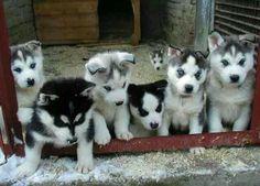 Sweet Huskies.