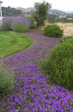 You can suggest water with large, undulating drifts of silver-colored or blue-flowered plants, such as this verbena (Verbena sp). Consider also lavender (Lavandula spp), fescues (Festuca spp), blue wheatgrass (Elymus magellanicus, zones 6 to 9) and dwarf Arctic willow (Salix purpurea 'Nana', zones 4 to 8).
